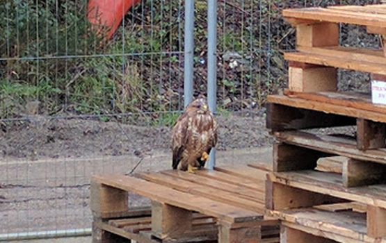 Buzzard on pallet