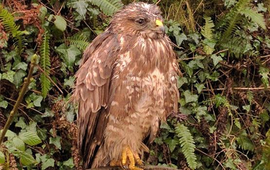Bernard the buzzard